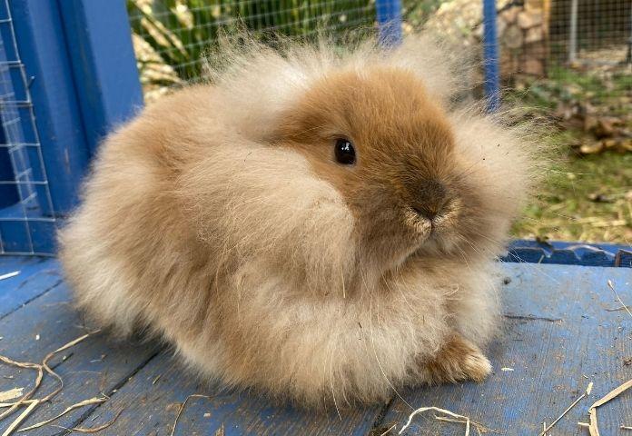 Male Lionhead Rabbit Names