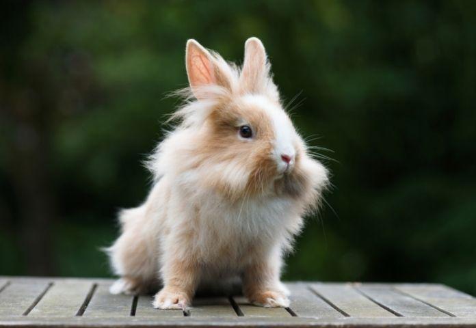 More Names For Lionhead Rabbit