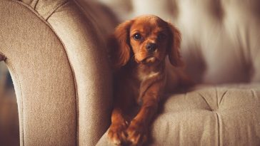 dog-on-couch